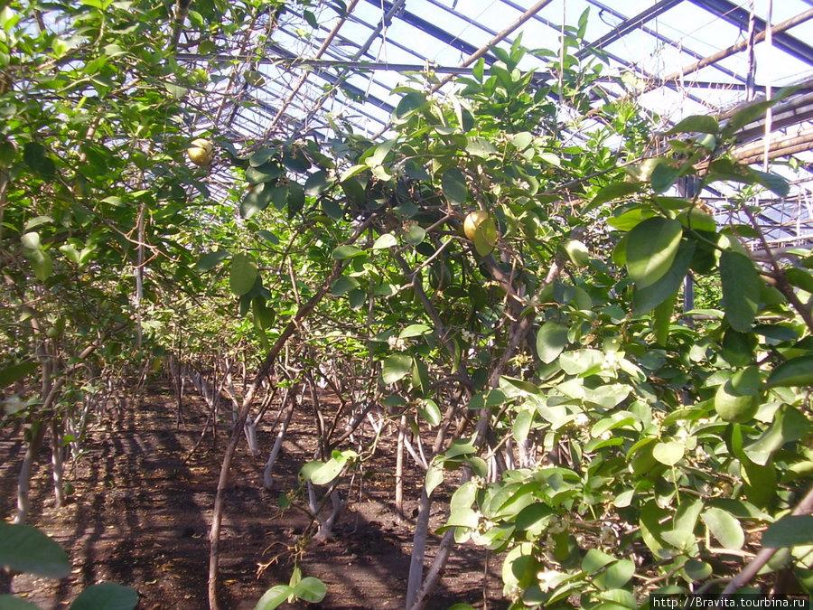 Большинство лимонов здесь значительно крупнее тех,  к которым мы привыкли.