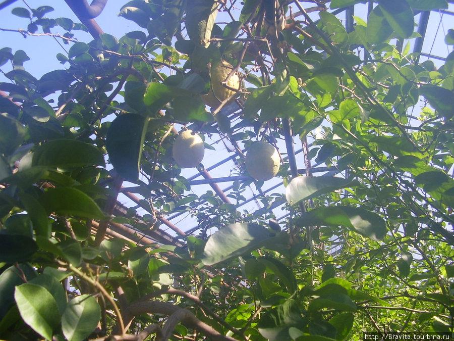 В лимонарии очень душно и влажно — теплица все-таки. Так что в жаркую погоду объективно оценивайте свои силы!