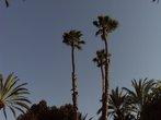 Три пальмы в Эльче