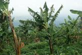 деревья с зелеными (для жарки) бананами
