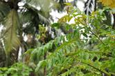 А вот и сам виновник (точнее, причина) названия. Растение с ароматными листочками известно ботаникам как 'мурайя Кёнига'. Ланкийцы ее называют 'карапинча', а британцы — 'листья карри' (curry leaves).