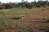 Солнце склонилось к горизонту и кенгуру начали вылезать из укрытий