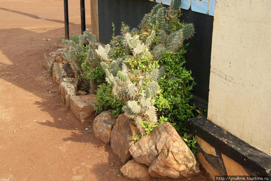 кактусы, в такие немудрено свалиться, влезая на забор