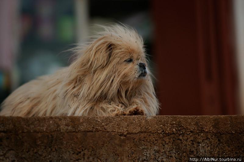 Собачки в высокогорьях вырастают гордыми, но небольшими.