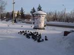 На улицах и площадях Тынды я увидел немало птиц, зимующих здесь. Неужели переживут сибирскую зиму?