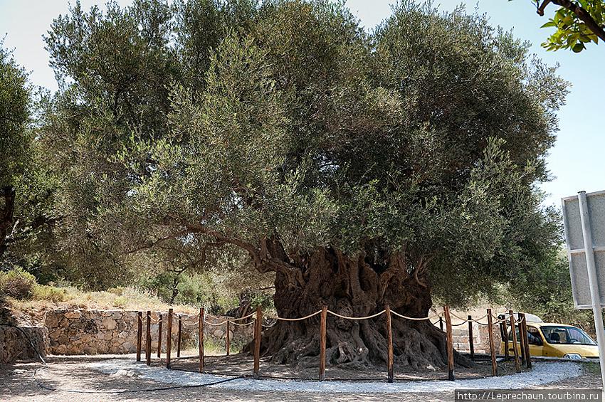 Самое старое оливковое дерево на острове