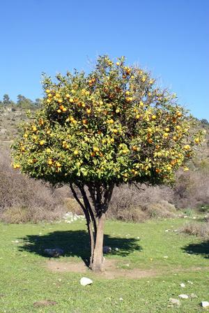 Урожай апельсинов в Кауносе