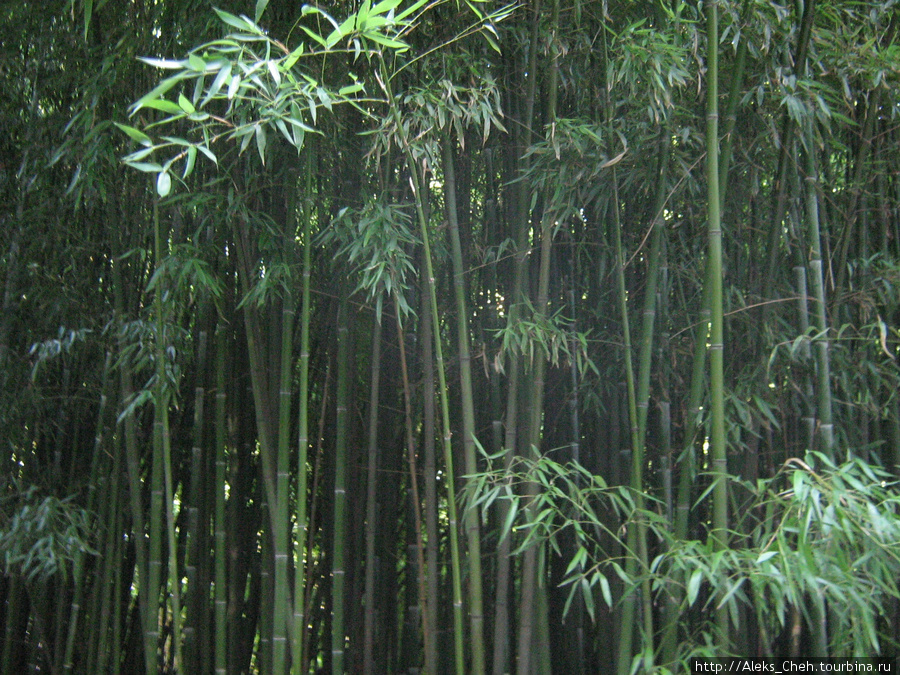Бамбуковые заросли Никиты