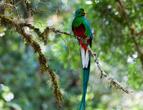 Великолепный Кетцал — сейчас редкая птица рспространение от юга Мексики до севера Панамы, во многих странах исчезла. Майя считали его Богом, самец длинной тела в 35 см с хвостом в 60 см, завораживает дыхание, когда видишь эту птицу в полете. Валюта Гватемалы называется -кетцал, вожди Майя носили как укращения перья самца, что бы приблизиться к божествам.