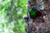 Великолепный Кетцал в гнезде. В Коста-Рике можно увидеть в Нац. парке