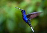 Жемчужная колибри, самая крупная в Коста-Рике (14 см)