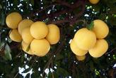 Урожай грейпфрутов в Силифке
