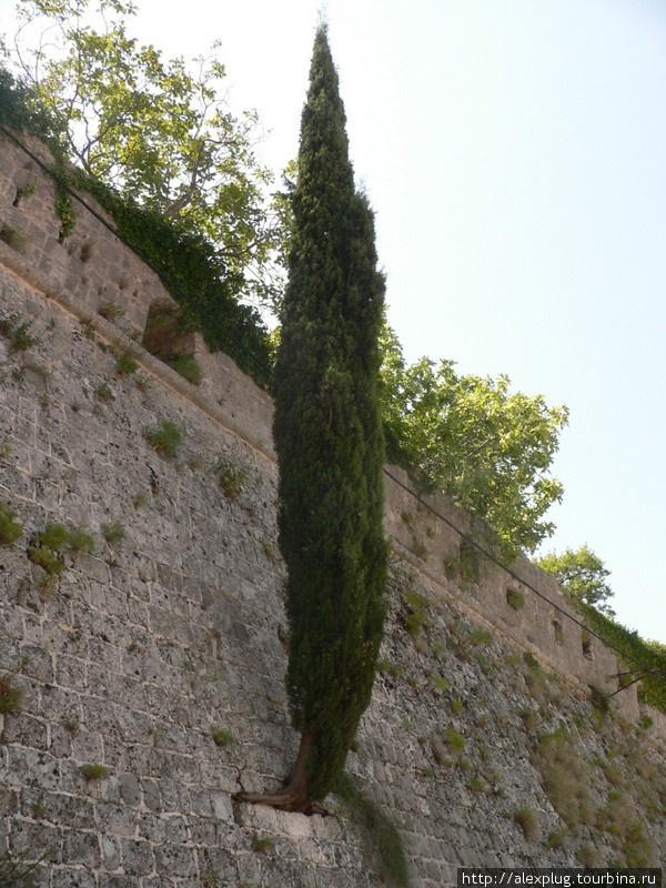 Кипарис в стене крепости. Старый Бар.