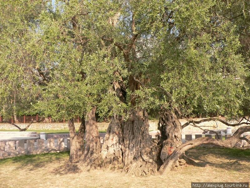 Говорят, что этой оливе более 2000 лет.