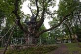 Стельмужский дуб — самый старый в Европе