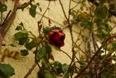 31 декабря на Гризанском кладбище цвели розы