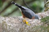 небольшой сокол поймал огромного богомола на лету. Снимал с вышки наблюдения за птицами высотой  62 м прикрепленной к высоченному дереву. он сел на одну из веток не далеко.