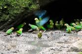 попугаи едят почву, которая помогает им переваривать плоды.