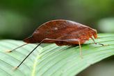 Листовидный кузнечик, здесь их встречается много видов.
