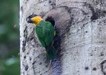 Попугай пьет сладкий сок дерева