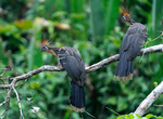 Гоацин — примитивная птица, близкий родственник куриных. Единственный птенец имеет когти на крыльях и ползает по веткам, пока не научится летать. На него не охотятся, имеет воючее мясо.