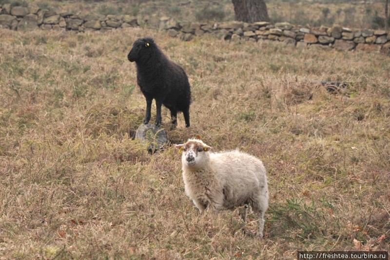 Эти овечки в Карнакском заповеднике, где разбросаны каменные глыбы, — не безбилетные посетители, а часть экспозиции. Оказывается, это исконные обитатели региона (mutons landes de Bretagne). Причем, дикие. Их переселили сюда из соседней провинции Луара. Они довольно рослые, с полметра в холке, и увесистые (до 40-50 кг). За их численнностью следят специалисты... Как и положено в местах, что входят в список ЮНЕСКО