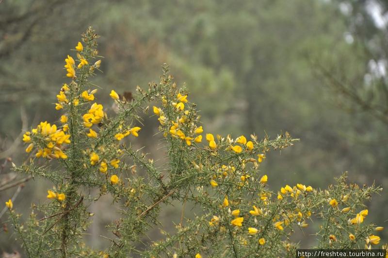 В межсезонье в лесу с красками негусто... Разве что желтый дрок (или что-то из его сородичей) встретишь на опушке. Мне казалось, его цветы в утешение путникам — вместо солнца в туманный день.